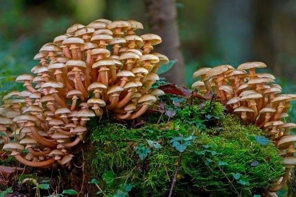Опенок (опята) – описание, виды, где растут, свойства, фото