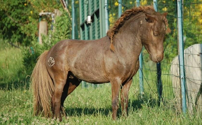 Самые маленькие лошади в мире: топ-10 миниатюрных пород с фото
