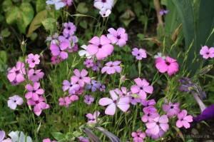 Вискария: выращивание из семени, особенности ухода и сорта