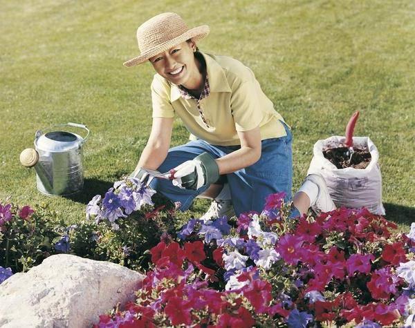 Когда в мае высаживать рассаду петунии