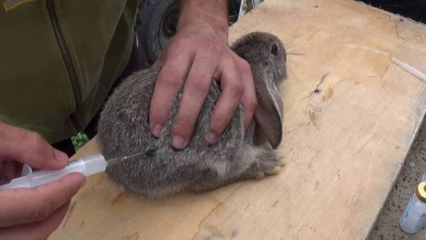 Прививки для кроликов и когда их делать