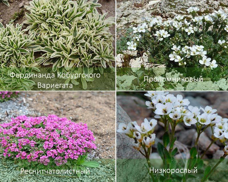 Король альпийской горки – цветок арабис альпийский