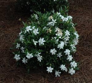 Ухаживание за гарденией жасминовой (gardenia jasminoides)