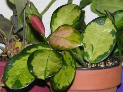 Хойя матильда сплэш (hoya mathilde): характеристика и фото растения, способы размножения, а также инструкция по уходудача эксперт