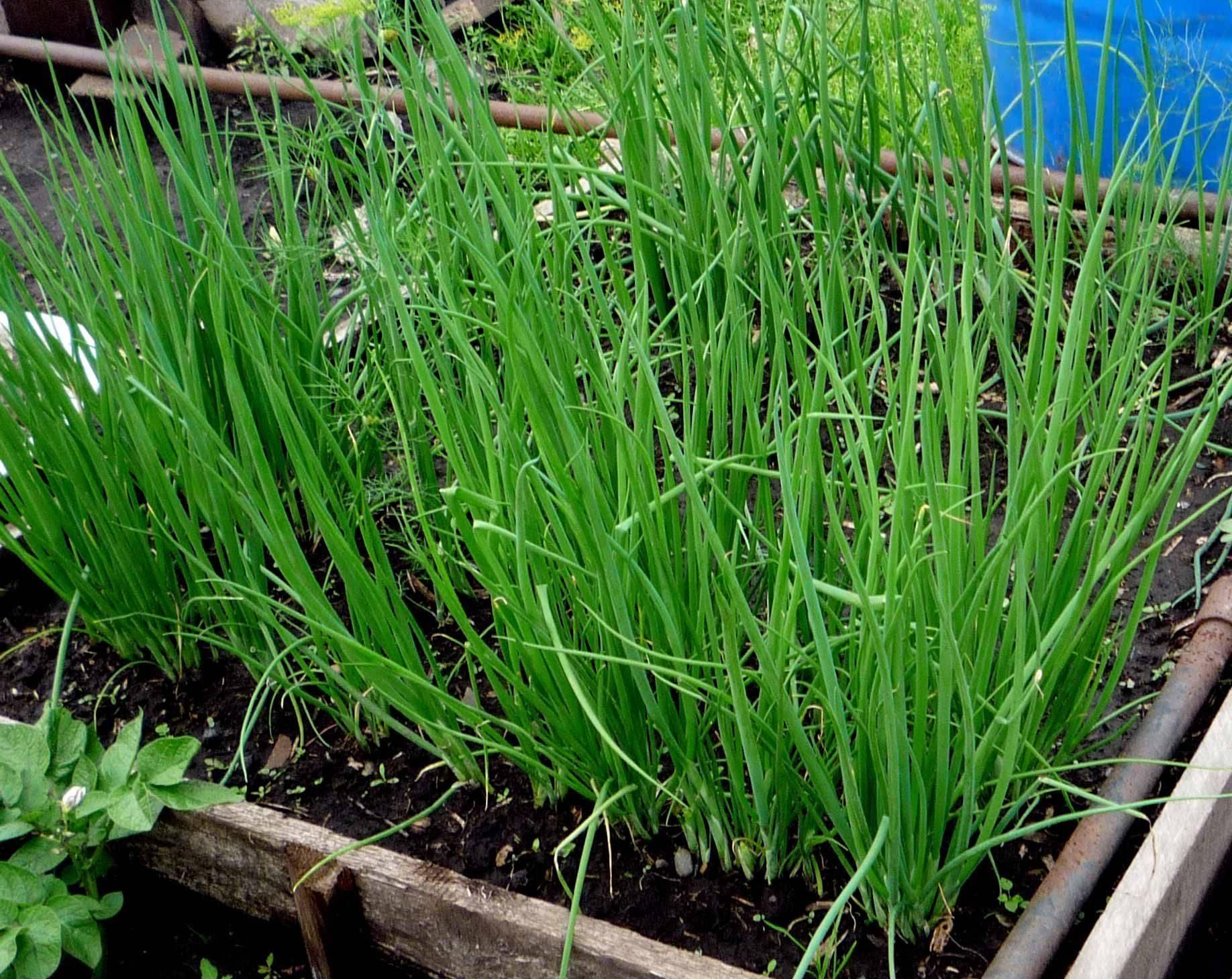 Лук-батун: выращивание через рассаду и из семян в грунте