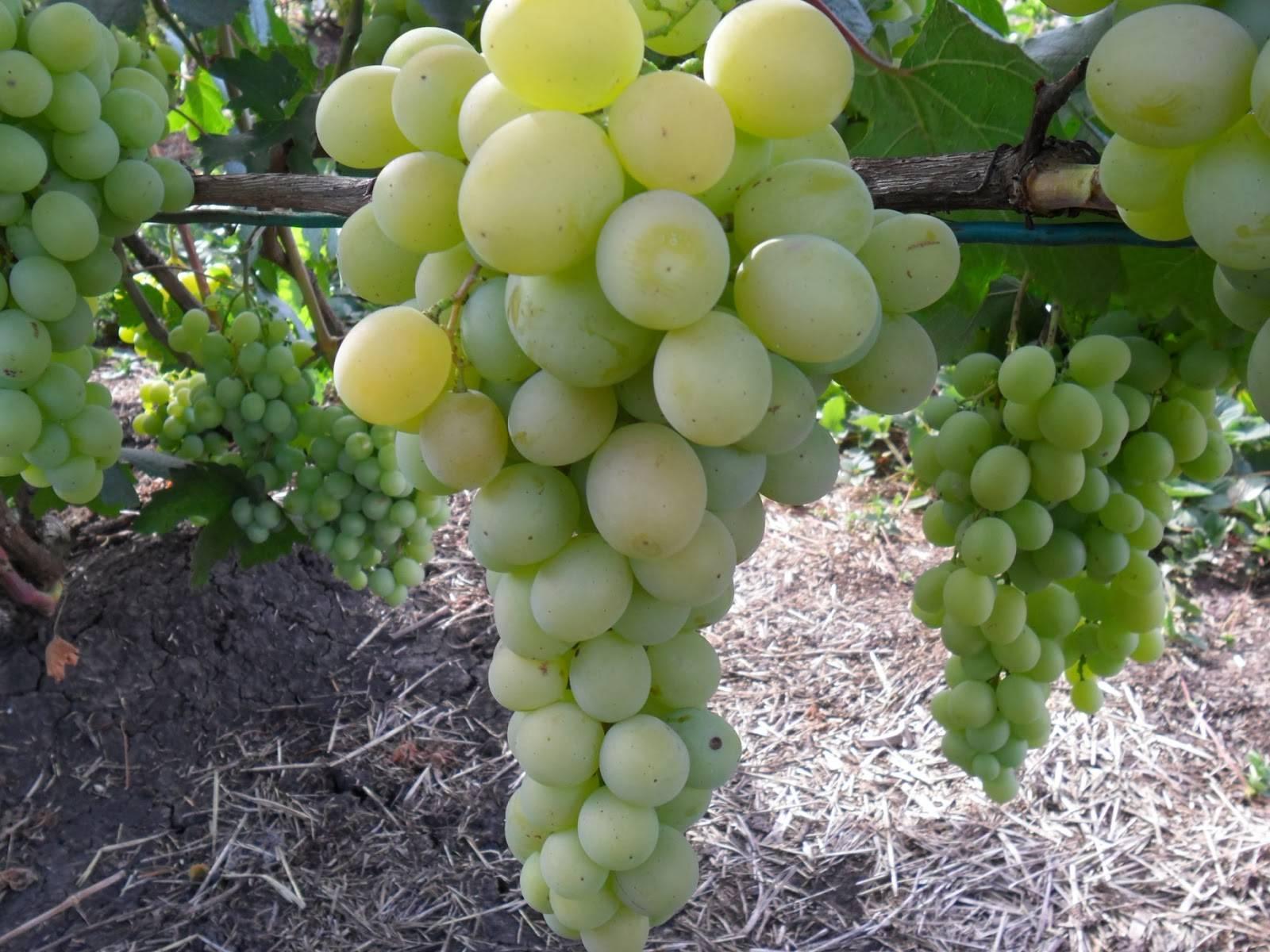 Виноград фрумоаса албэ - агро журнал dachnye-fei.ru