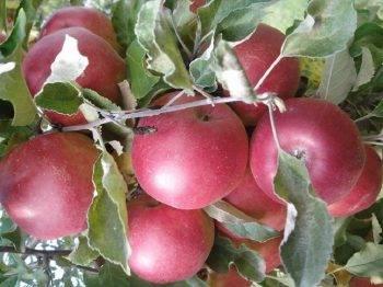 Каталог сортов яблонь по алфавиту