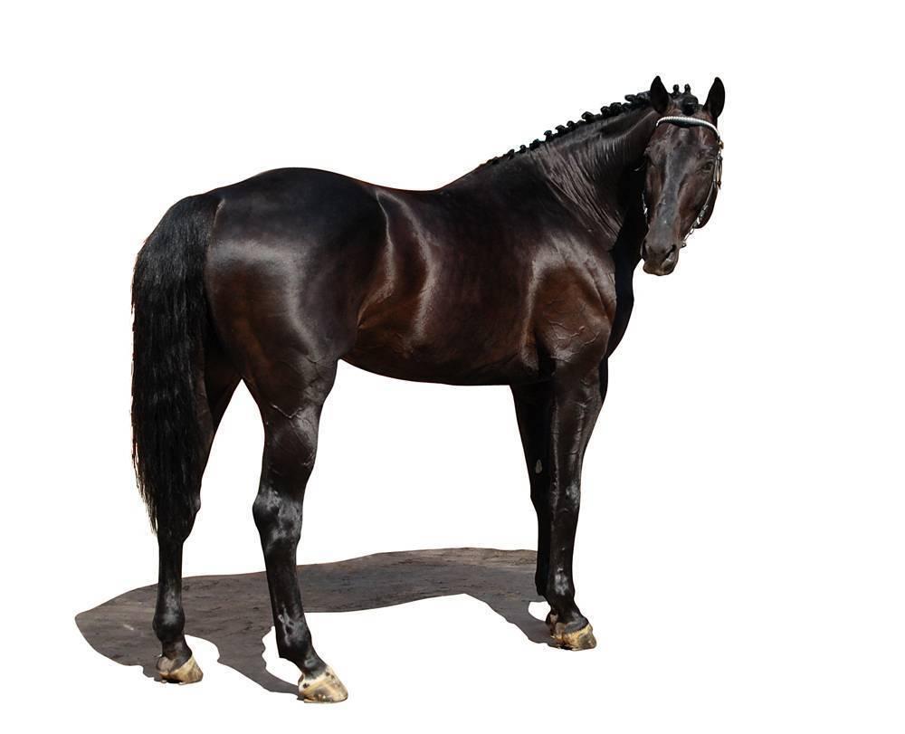 Русская верховая порода лошадей: фото, описание