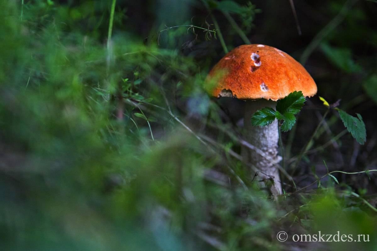 Какие съедобные грибы растут в Новосибирской области