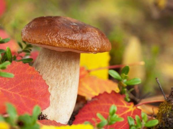 Какие грибы растут в Брянской области