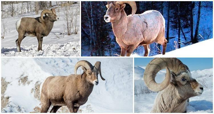 Баран — виды, места обитания, рацион питания, описание и характеристика животного (125 фото)