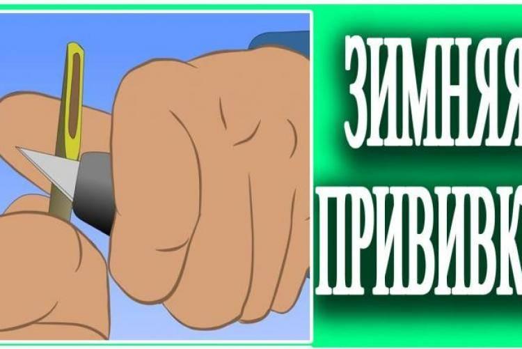 Как привить яблоню в расщеп: время для прививки, видео для начинающих поэтапно
