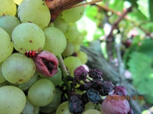 Эффективные методы борьбы с гроздевой листоверткой на винограде