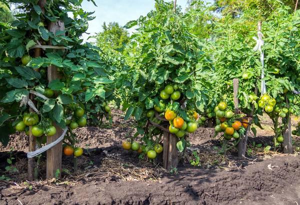 Туалетная бумага — оригинальный субстрат для отменного урожая помидоров. особенности посадки и ухода