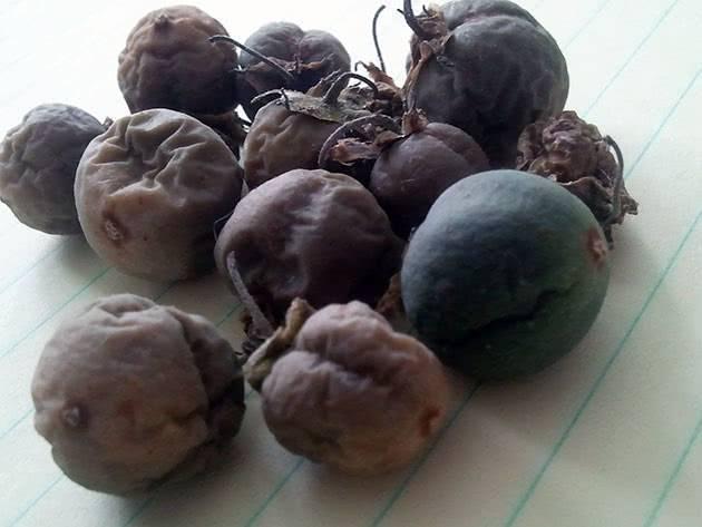 Посадка картофеля из семян на рассаду