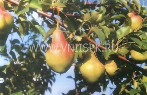 Груша гера: описание сорта, урожайность, фото, отзывы