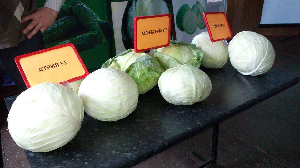 Капуста менза f1: отзывы огородников об урожайности, описание вкусовых качеств и характеристика, фото кочанов, лучшие советы