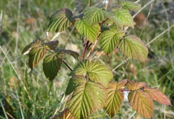 Посадка малины осенью. преимущества, сроки, как правильно посадить