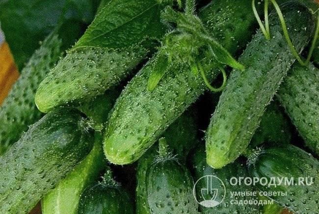 Выращивание огурцов зятек и теща, посев семян и правила ухода, сбор урожая