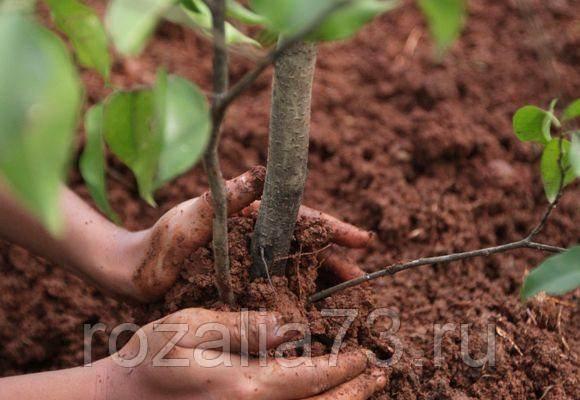 Химия или органика? весной или осенью? когда, чем и какой должна быть правильная подкормка яблони?