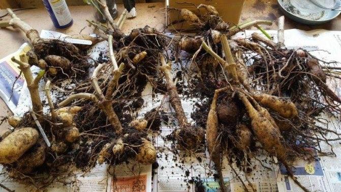 Как хранить клубни георгинов зимой в домашних условиях: в квартире, в погребе, в холодильнике