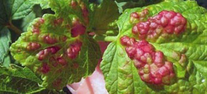 Болезни и вредители красной смородины