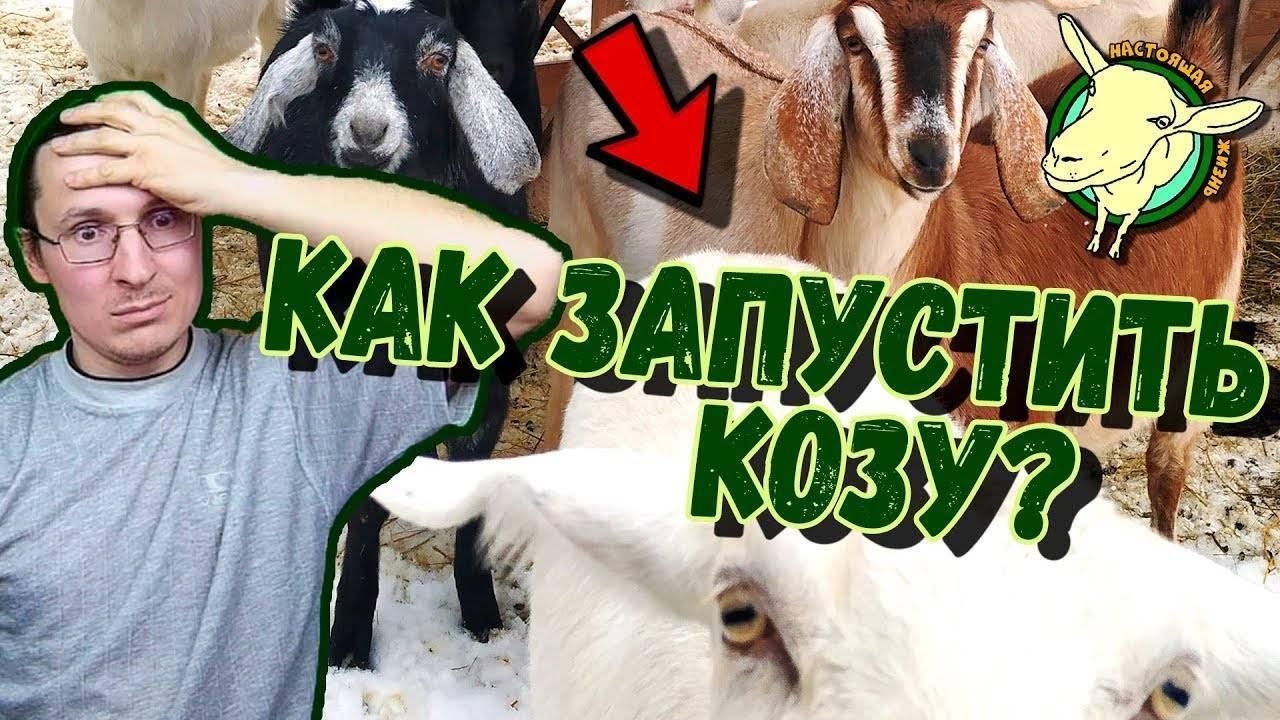 Запуск козы перед окотом: когда и как?