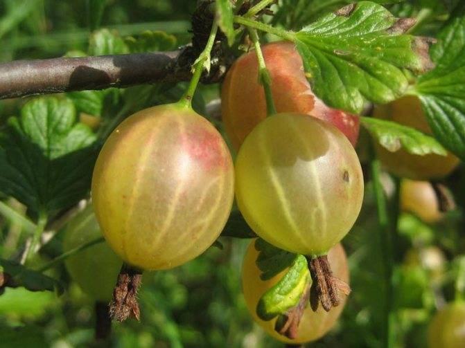 Белый налет на ягодах крыжовника: методы борьбы