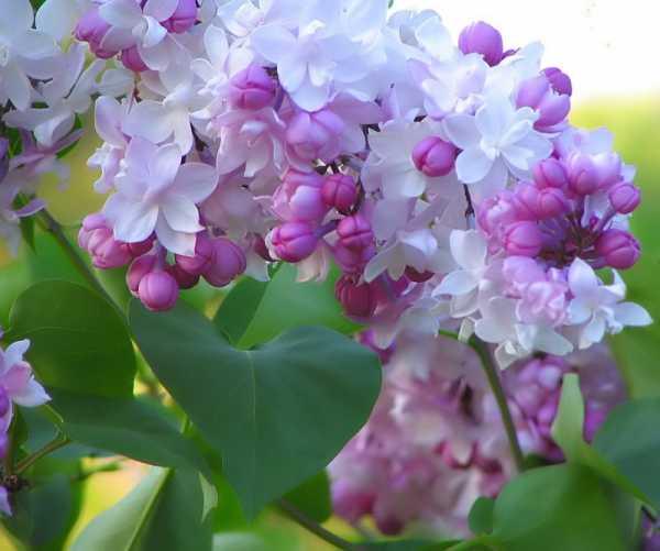 Сирень красавица москвы посадка и уход в открытом грунте - сад и огород
