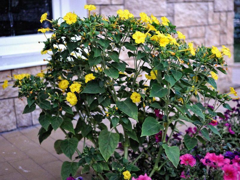 Цветок «мирабилис»: описание, фото, посадка и уход