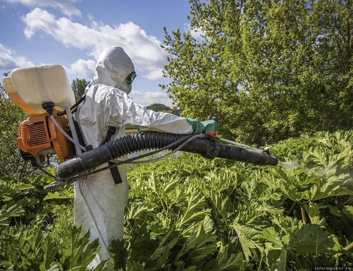 Как избавиться от борщевика на участке навсегда: химические и народные средства