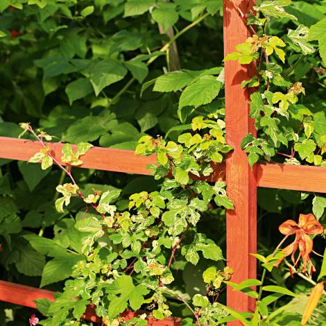 Виноградовник короткоцветоножковый - ampelopsis brevipedunculata - описание таксона - плантариум