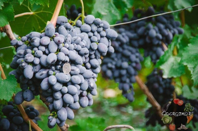 Виноград сорта кодрянка: описание, фото и отзывы