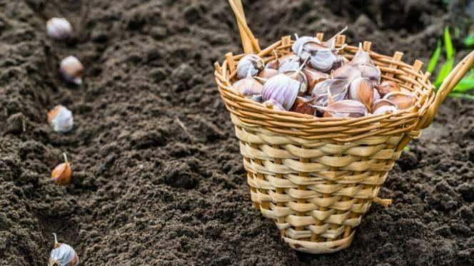 Как сажать озимый чеснок: лайфхаки огородникам