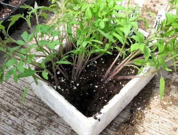 Как посадить томаты юлия миняева. юлия миняева: подкормка помидоров в «пеленках