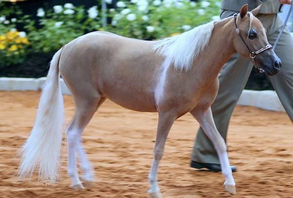 Мини лошади — обзор карликовых пород