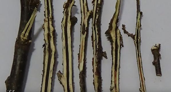 Стеклянница на смородине: меры борьбы с паразитом, видео и фото