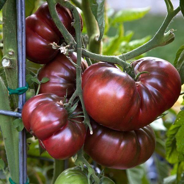 Помидор шоколадная глыба - описание сорта с фото, характеристика урожайность отзывы, кто сажал видео