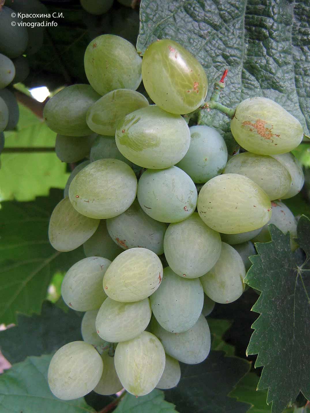 Сверхранний и устойчивый к болезням виноград «элегант»
