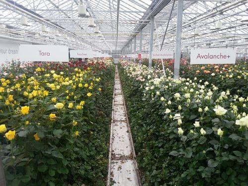 Голландские розы: посадка и уход, выращивание, размножение фото