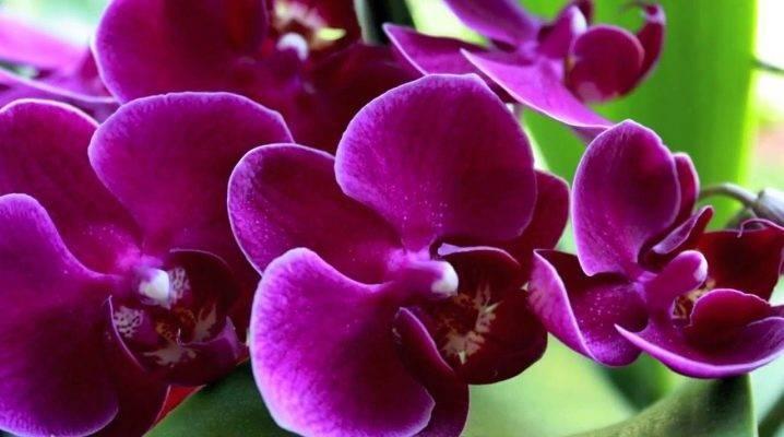 Орхидея фаленопсис: описание, содержание в домашних условиях
