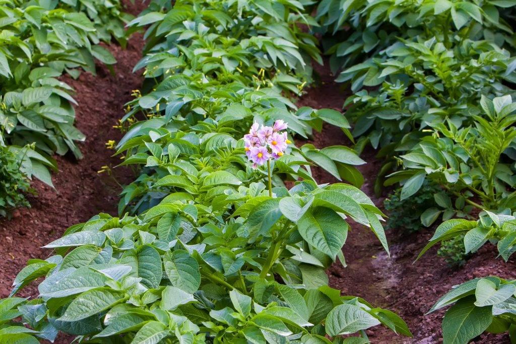 Пошаговые рекомендации: как вырастить картошку от а до я