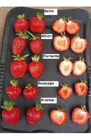 Земляника сельва - особенности сорта - ягоды | описание, советы, отзывы, фото и видео
