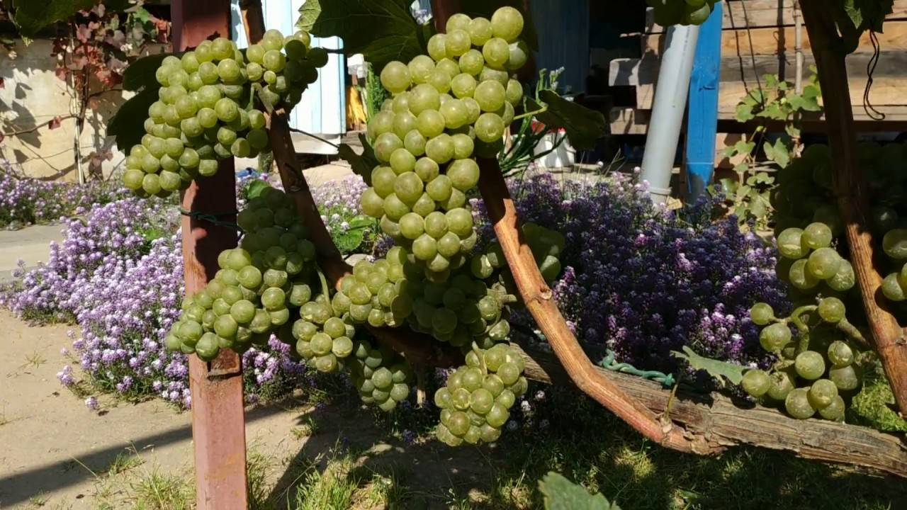 Шардоне (chardonnay) - вино и сорт винограда, описание