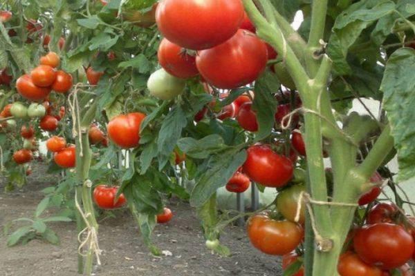 Томат капия розовая: отзывы, фото, урожайность | tomatland.ru