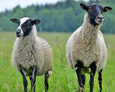 Курдючные овцы и бараны: обзор пород и особенности их содержания