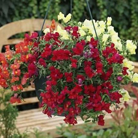 Посадка, уход и выращивание цветка Львиный зев