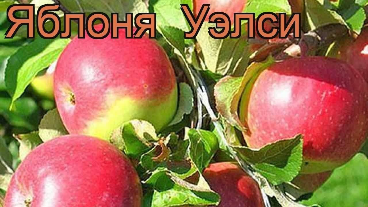 Яблоня уэлси: описание и характеристика сорта, видео и фото