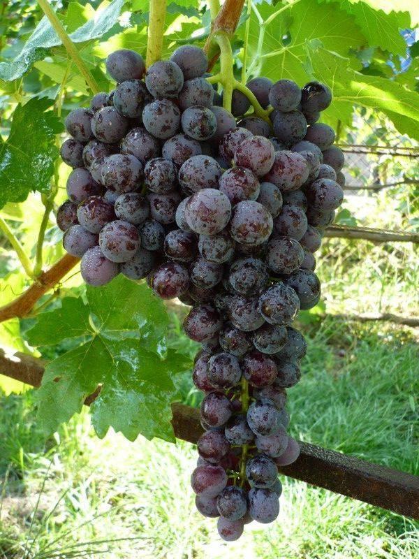 Кишмиш мускатный — сорт винограда