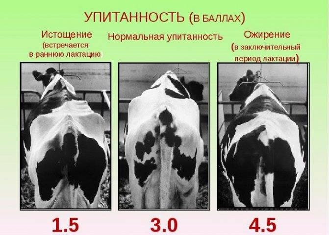 Быстрый откорм бычков на мясо: принципы ускоренного откармливания в домашних условиях